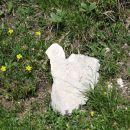 stare stale, kamniško-savinjske alpe, 1.7.2012 (velik, kakih 5 kg)