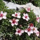 triglavska roža