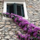 čudovito cvetoča bugenvilija se vzpenja po zidu