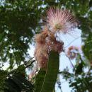zanimiv cvet neznanega drevesa