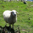 sem jezersko-solčavska ovca