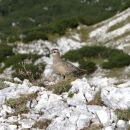 srečanje na vrhu lanževice: ptič dular, na poti na prezimovanje v južno afriko