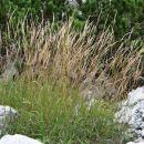 gorske trave