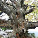 nekoč je bilo košato drevo...