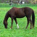 žrebec na paši na izhodišču