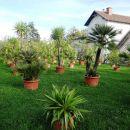 razstava palm v posodah pri rastlinjaku