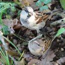 vrabčka čakata na dobtinice
