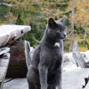 mačji lepotec