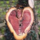 odžagana veja je pustila sled v obliki srca