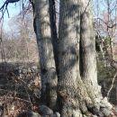 šopek štirih dreves iz enega