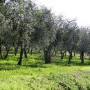..oljčnih nasadov...