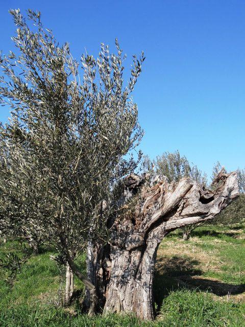 Iz debla stare oljke raste mlada...