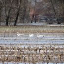 labodi na poplavljenih poljih - približani od daleč...