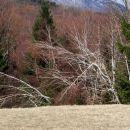 sneg je polomil breze