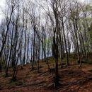 gozd še ni čisto ozelenel