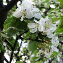 na tej višini še cvetoče sadno drevje