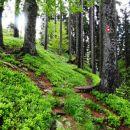 tla v gozdu so prekrita z borovničevjem