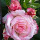 čudovita vrtnica