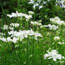 cvetoči travniki na velem badinu