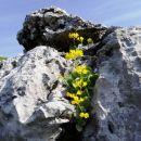 avriklji se bližajo koncu cvetenja...