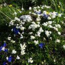 belo-modro-rumene blazince...