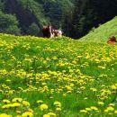 rumeno od cvetočega regrata