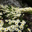 cvetna blazina - alpska velesa