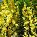 cvetoči nagnoj