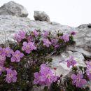 krhek cvet in trdna skala