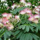 zanimivo cvetoče drevo