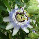 čudoviti cvet pasijonke