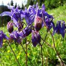 orlice so v polnem cvetu