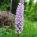spet ena lepa kukavica-orhideja