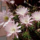 cvetoči kaktus pri gostilni v zalem logu