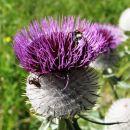 pridna čebelca