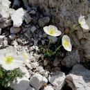 na meliščih pod sedlom robon je polno tega cvetja