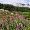cvetoče ciprje