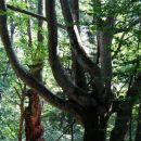 šopek dreves