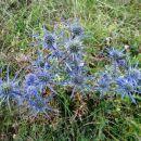 po travnih planjavah je polno čudovito modre ametistaste možine