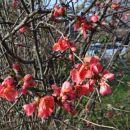 japonska kutina cveti konec decembra?!