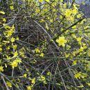 cvetoči grm v ospu
