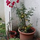 cvetoča vrtnica na silvestrovo