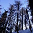 zadnji del poti po macesnovem gozdu