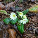 trobentice so v polnem cvetenju...