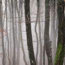 gozd v megli