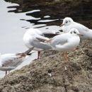 skupinica rečnih galebov