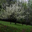 cvetoči sadovnjaki