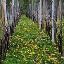 regrat v vinogradu