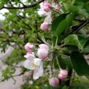 cvet jablane...