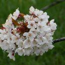 cvetoče češnje ob poti